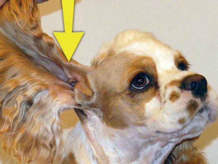 Кокер спаниелей ушей собак болезни цистита женщин лечение уколами у