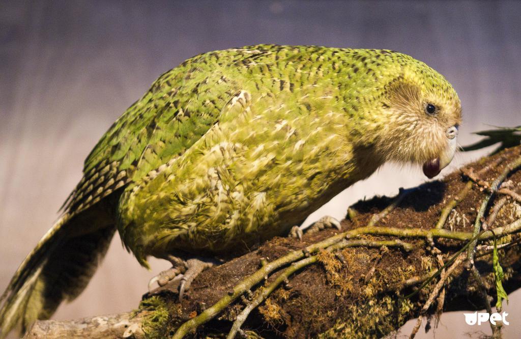 Самые большие попугаи: забавные факты о какапо