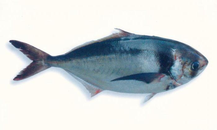 саворин рыба фото