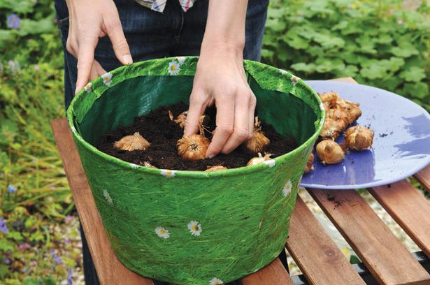 Как сажать луковицы гладиолусов правильно?