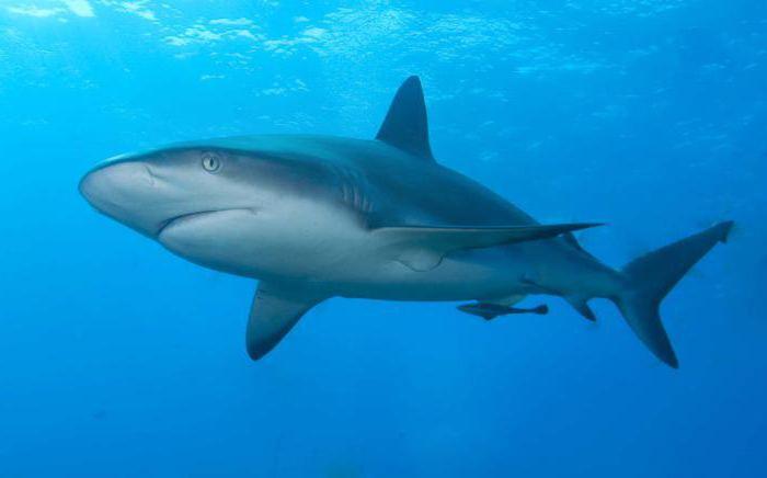 белая акула и акула молот видео