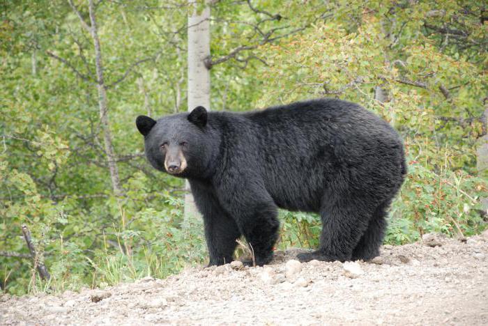 сколько весит гризли медведь