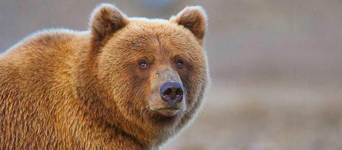сколько весит бурый медведь