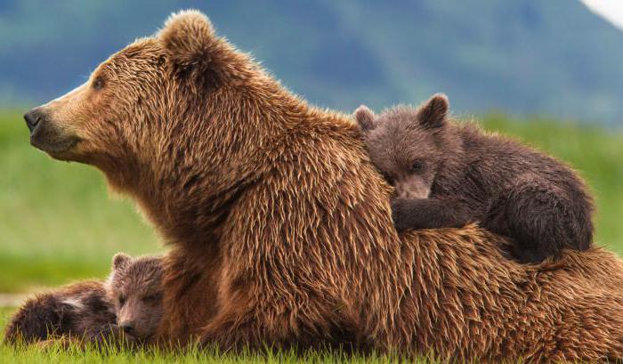 вес бурого медведя