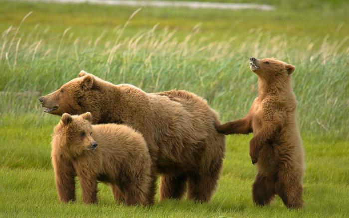 сколько весит взрослый медведь