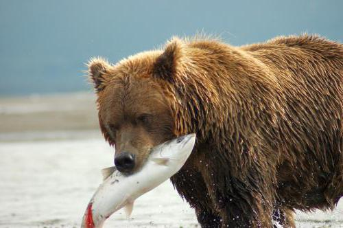 сколько весит медведь