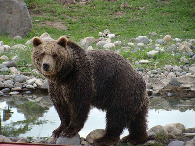 средний вес медведя
