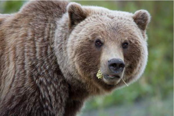 вес взрослого медведя