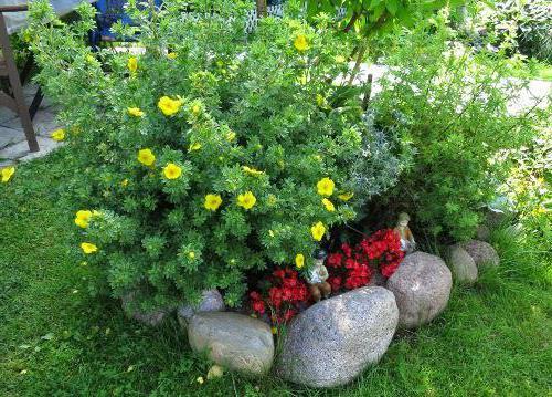 Лапчатка кустарниковая уход и выращивание