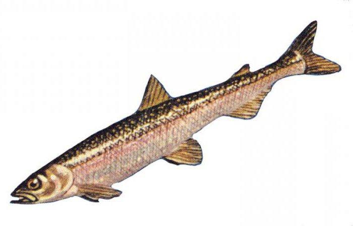 рыбы самарской области список