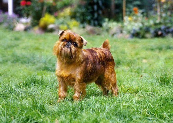 бельгийский гриффон породы собак