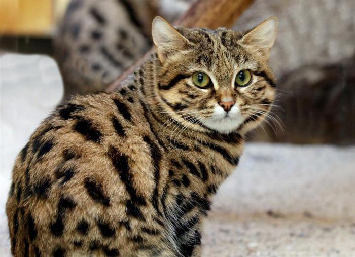 черноногая кошка фото