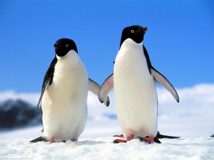 фото пингвина