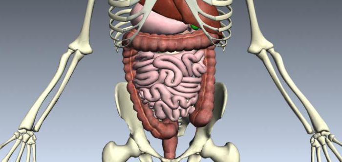 Из каких органов состоит пищеварительная система