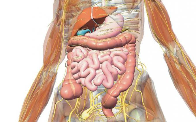 Пищеварительная система человека ее строение