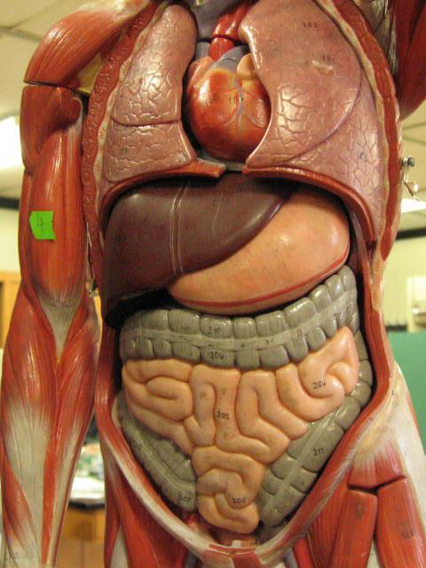 пищеварительная система состоит из следующих органов
