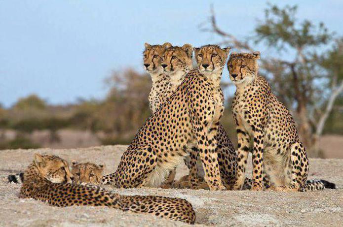кто быстрее гепард или леопард