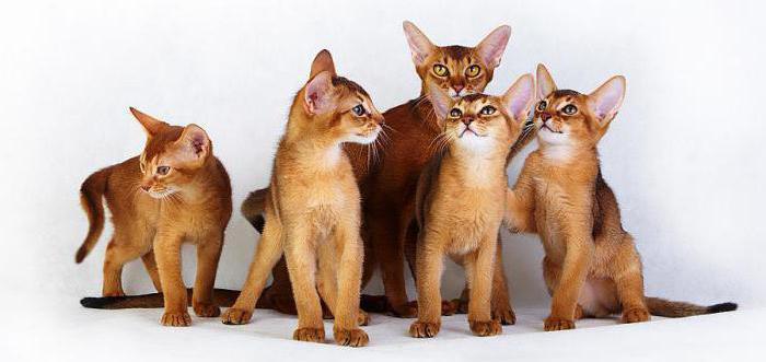 поведение абиссинских кошек