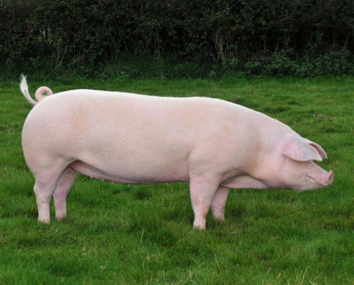 свиньи породы лнадрас