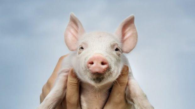какие породы свиней разводят