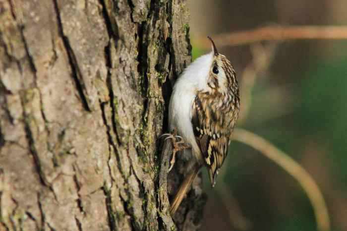 птица пищуха обыкновенная описание