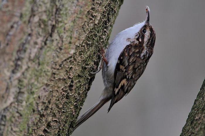 птица пищуха описание