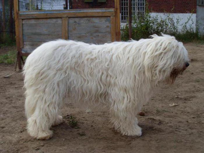 собака русская овчарка
