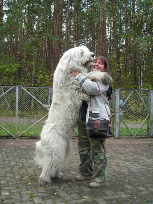 русская овчарка щенки