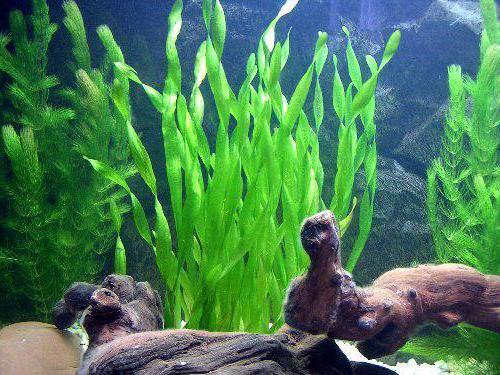 валлиснерия содержание и уход в аквариуме