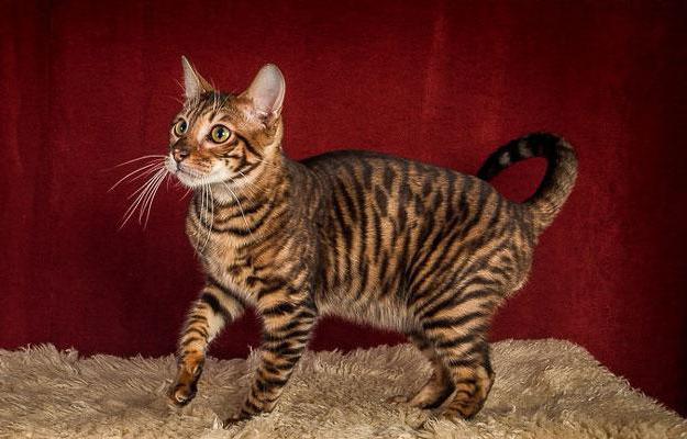 кошка тойгер описание