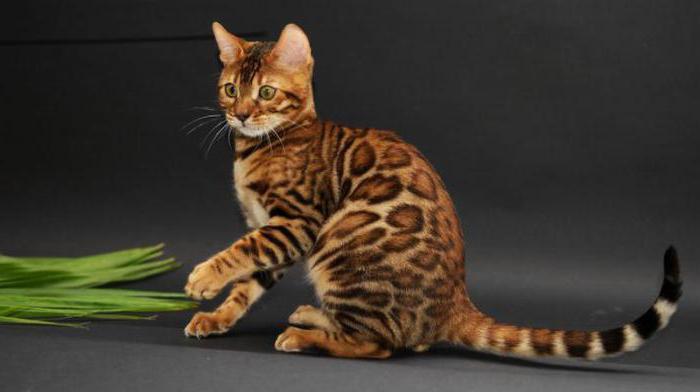 тойгер кошки характер