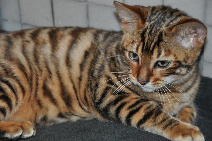 тойгер кошки отзывы владельцев