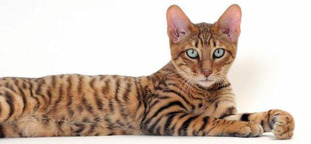 породы кошек тойгер цена
