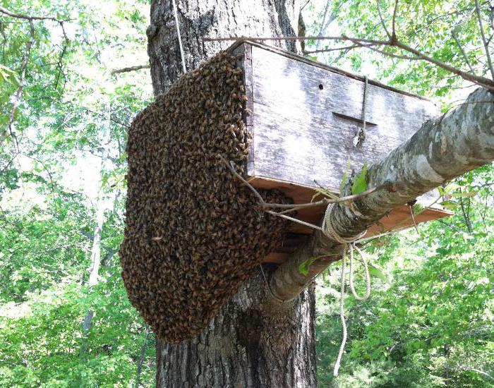 Чем ловить рой пчел?