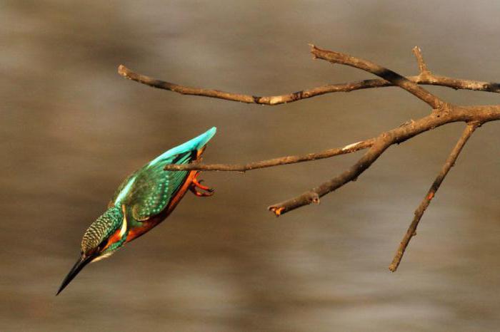 зимородок обыкновенный описание
