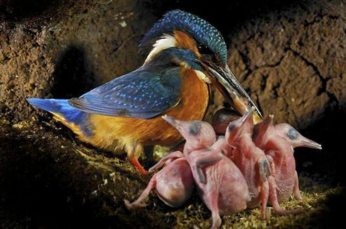 зимородок обыкновенный птица