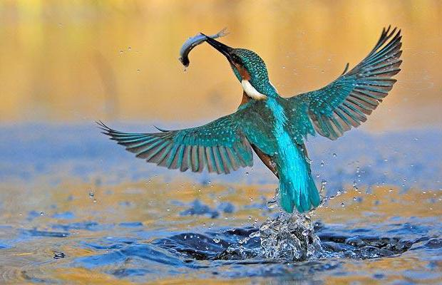 зимородок обыкновенный птица описание