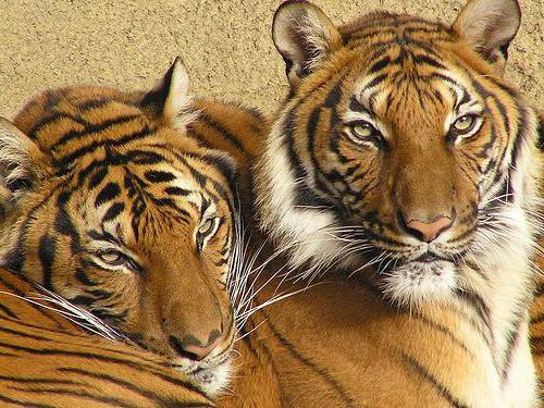 индокитайский тигр описание