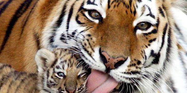 индокитайский тигр хищник