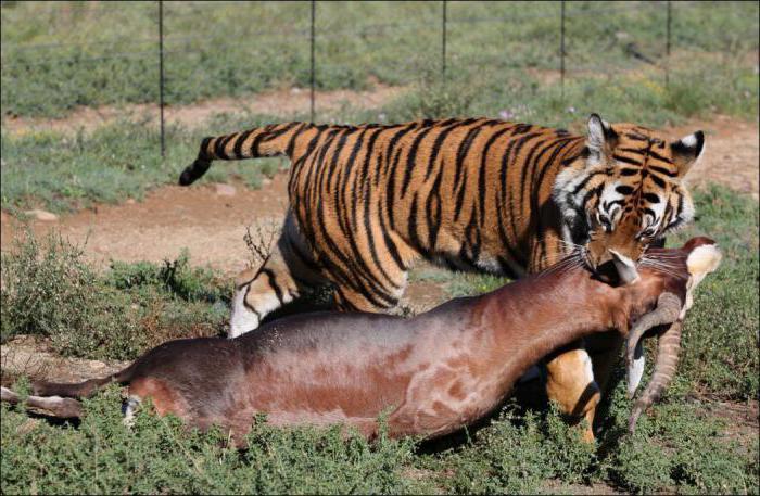 индокитайский тигр занесен в красную книгу