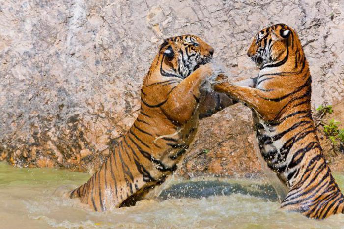 тигр индокитайский подвид