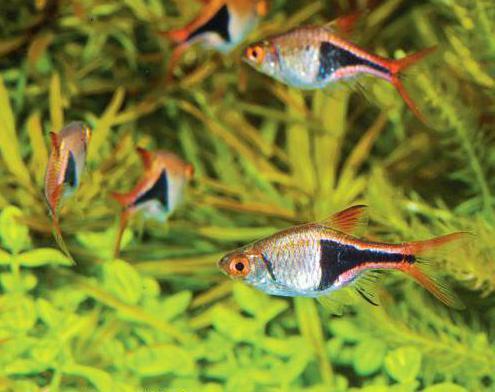 расборы рыбки содержание