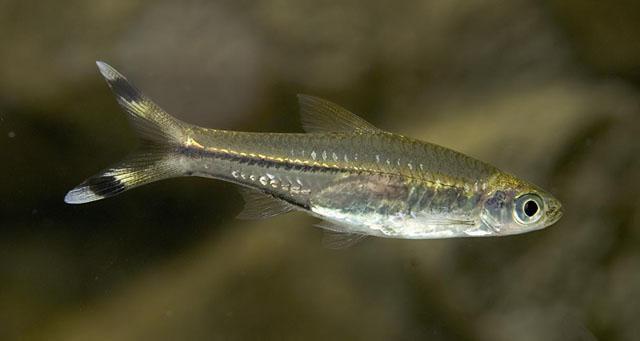 расбора рыбка