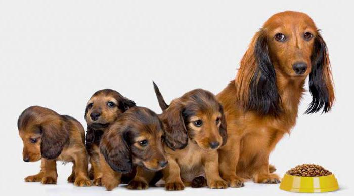 срок беременности у собак