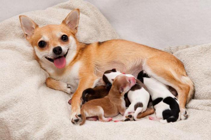 как определить беременность у собаки