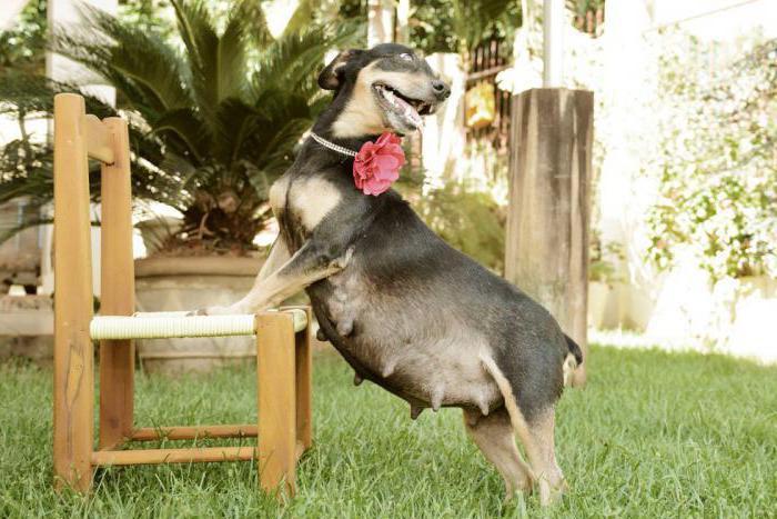 признаки беременности у собаки