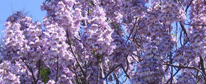 адамово дерево растение