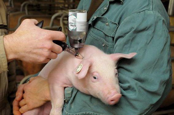 стимулятор роста для свиней в уколах