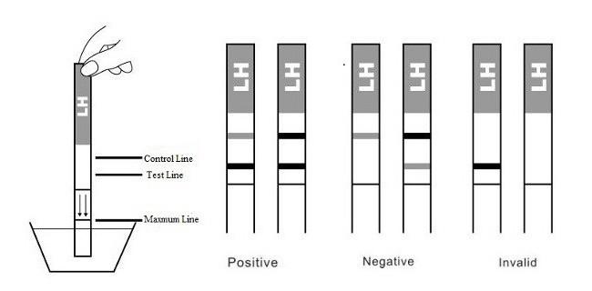 тест на овуляцию две полоски