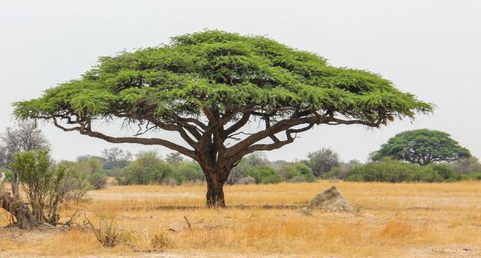 белая акация дерево